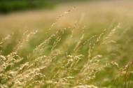 Gräspollen