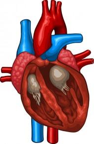 Illustration av ett hjärta i genomskärning