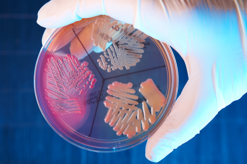 Bakterier på petriplatta