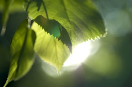 gröna blad och solsken