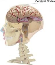 hjärnbarken
