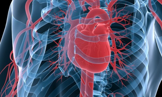 bild på hjärta med kranskärl