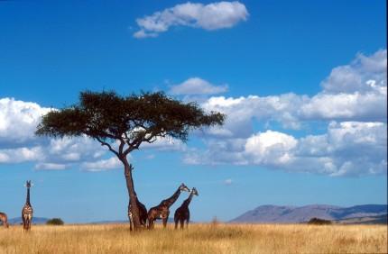 savann med giraffer under ett traed