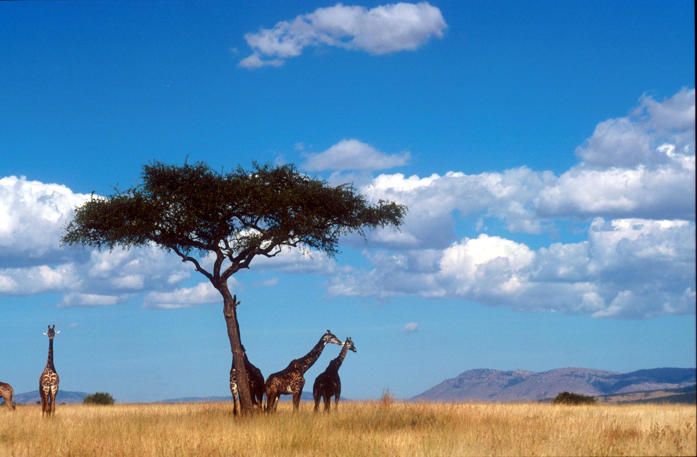 Afrika - Page 9 Savann-Kenya