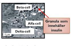Mikroskopbild innehållande insulin