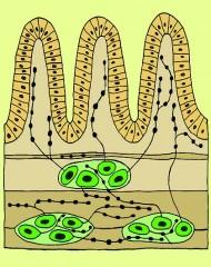 tarmen och dess nervsystem