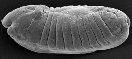 embryo bananfluga