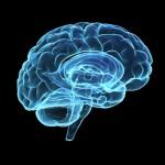 modell av hjärnan