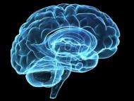 modell av hjärna i blått