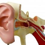 modell av hörselkanal