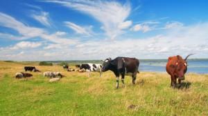 betande får och kor