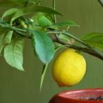 Vanligt växtämne kan bli framtida cancerläkemedel