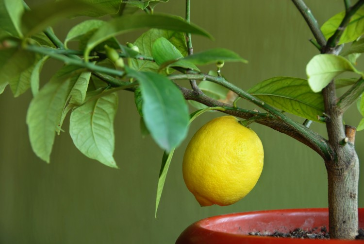 yellow lemon growing on lemon-tree in flowerpot