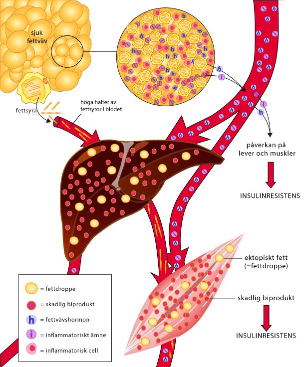 Nyupptackt cell styr dygnsrytm