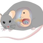 Gallsyra stödjer produktion av blodstamceller