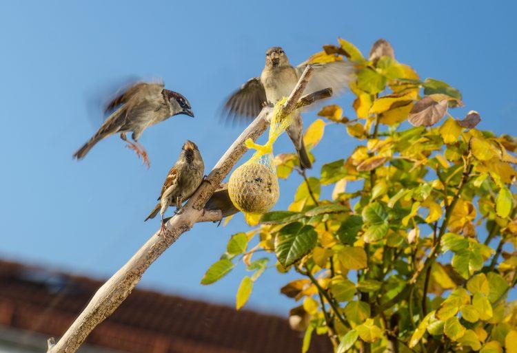 småfåglar runt en talgboll på en gren