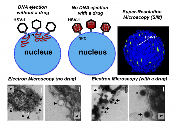 Bilden är dels en illustration, dels en serie mikroskopibilder som illustrerar vad som händer när virus försöker skjuta in sitt DNA i värdcellens cellkärna vid respektive utan närvaro av den trycksänkande molekylen