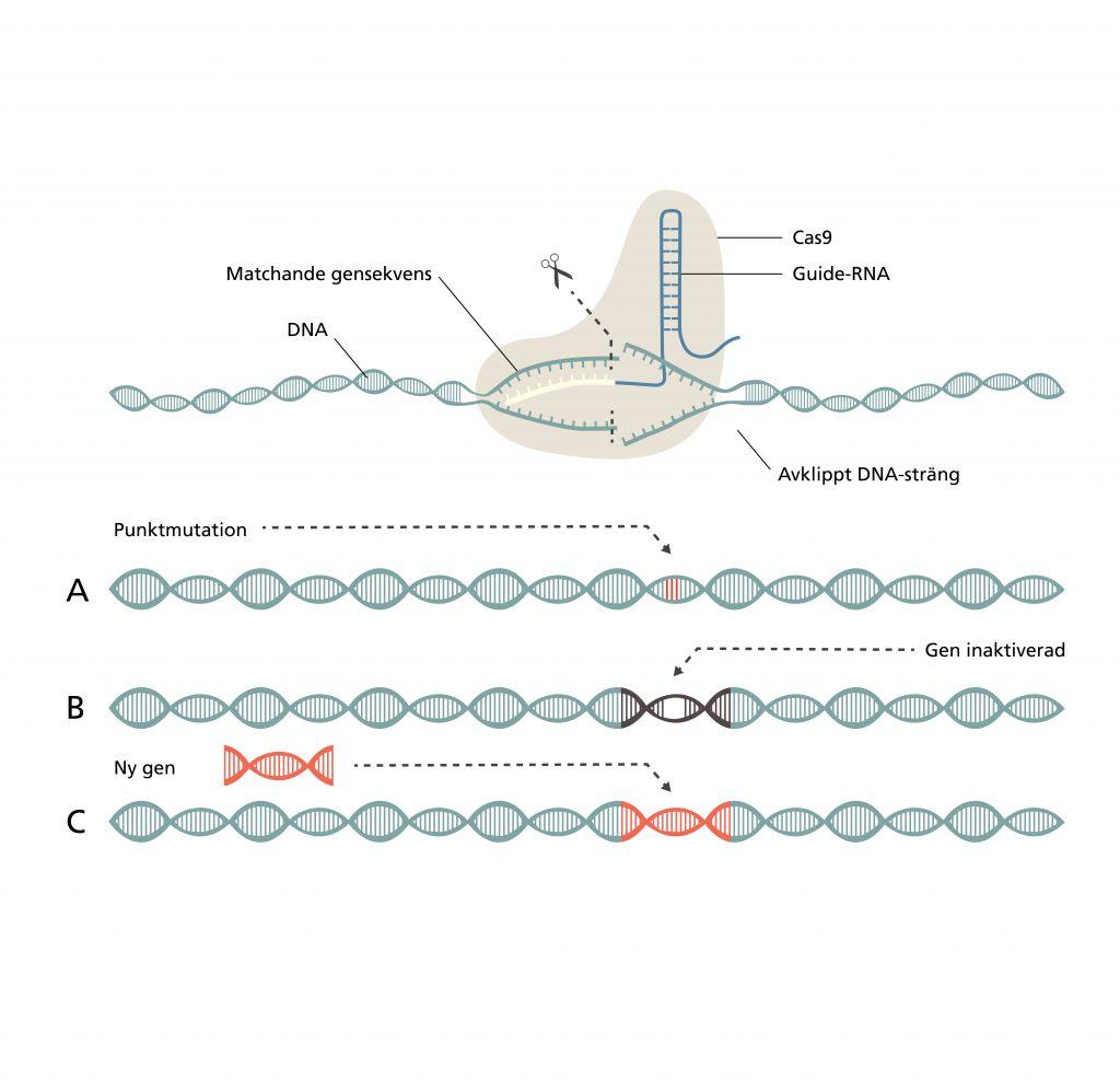 Bilden är en illustration som förklarar hur CRISPR fungerar. Detta beskrivs i texten nedan under rubriken Så funkar CRISPR