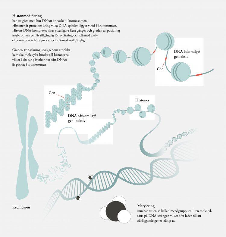Bilden är en illustration av de epigenetiska modifieringarna histonmodifiering och metylering och är ett komplement till bildtexten