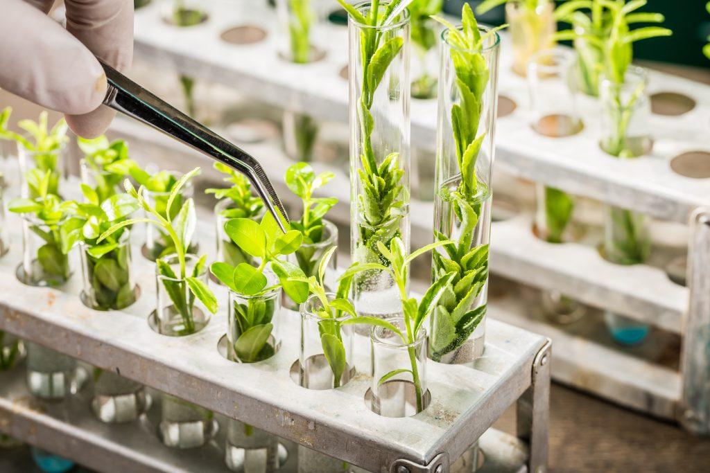 bilden visar små gröna plantor nerstoppade i var sitt provrör av glas. Provrören står i ett ställ och på bilden ses också hur någon petar på en av plantorna med en pincett