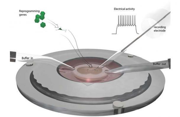 På bilden ses ett cirkulärt kärl. i mitten av kärlet finns en behållare för de celler forskarna jobbar med. Man ser en slang som leder in färs lösning odlingslösning till cellena och en slang som leder ut lösningen. En så kallad elektrod som här illustreras av en tunn stav. är också nersänkt i cellsuspensionen.
