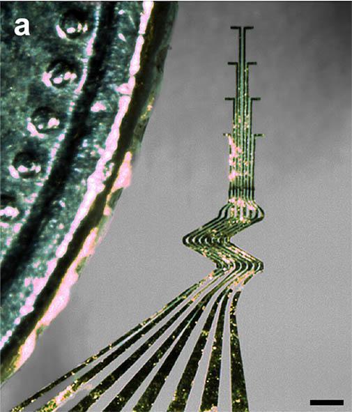 bilden visar de supertunna elektroderna, här 8 stycken som ligger parallellt. De är böjda i mjuka vågor och verkar vara mycket mjuka och flexibla. Att de är ytterst tunna förstås av att på bilden ses en liten bit av ett myt som här ser mycket större ut än elektroderna