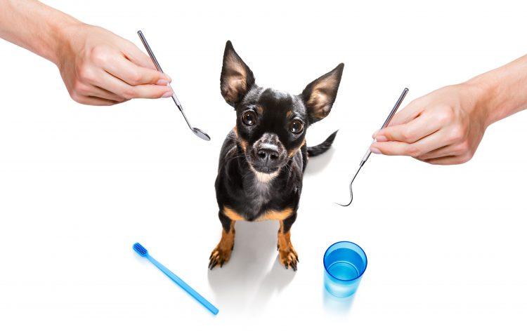 På bilden ser vi en liten svart hund med spetsiga öron och bruna tassar titta upp mot kameran. Bakgrunden är helt vit och runt hunden ses en blå tandborste och en blå mugg samt ett par händer som på vardera sida om hundens huvud håller var sitt tandläkarverktyg.