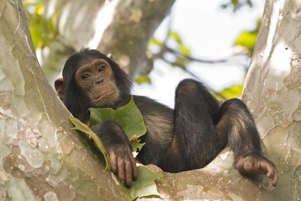 Schimpans vilar lojt i träd.